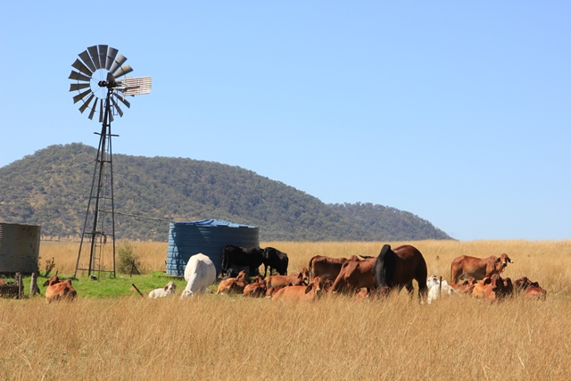 Cattle grazing Goomburra