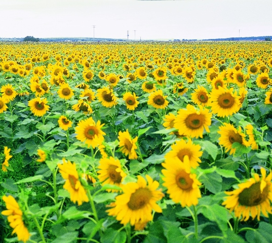 Small fields of Sunflowers