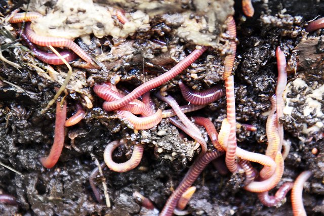 earth worms in compost